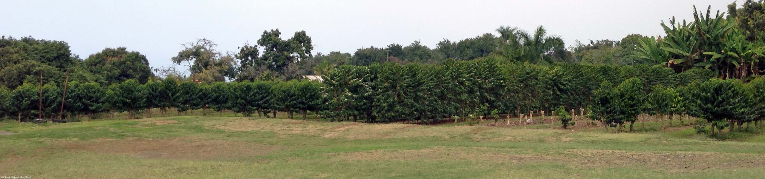 Rows of coffee plants at Greenwell Farms - Kealakekua, HI